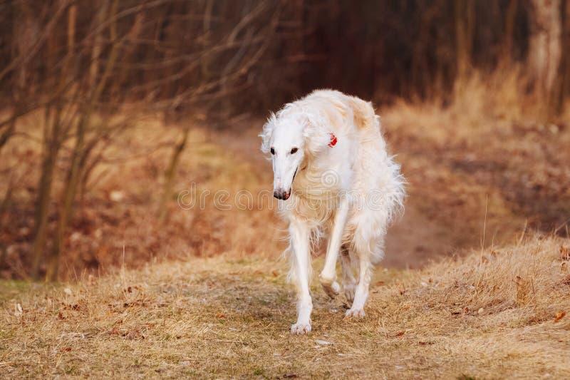 狗俄国俄国猎狼犬猎狼犬头,户外 库存图片
