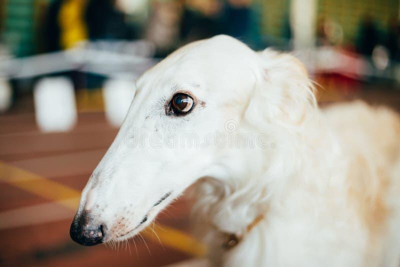 狗俄国俄国猎狼犬猎狼犬 免版税图库摄影