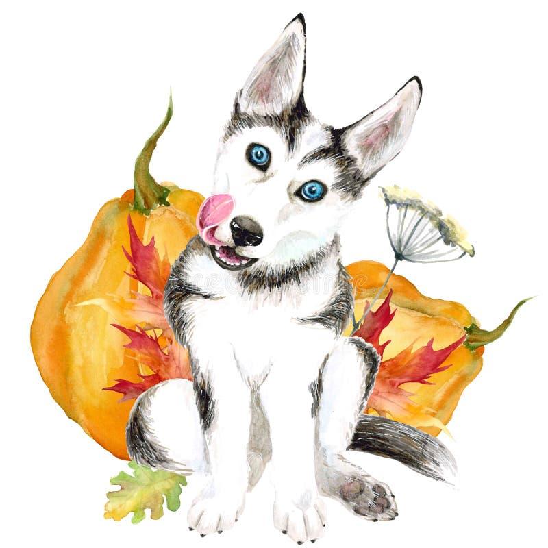 狗养殖爱斯基摩 与蓝眼睛的逗人喜爱的小狗 背景查出的白色 秋天收获,南瓜 库存例证