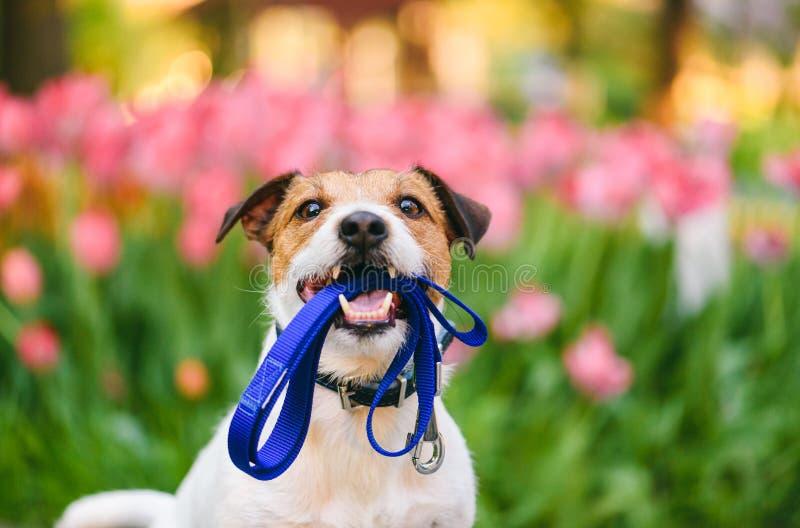狗准备好在嘴的步行运载的皮带在好春天早晨 免版税库存照片