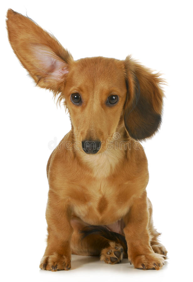 狗听 库存照片