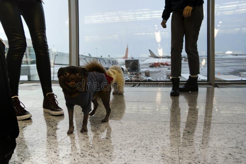狗和人们在机场 库存照片
