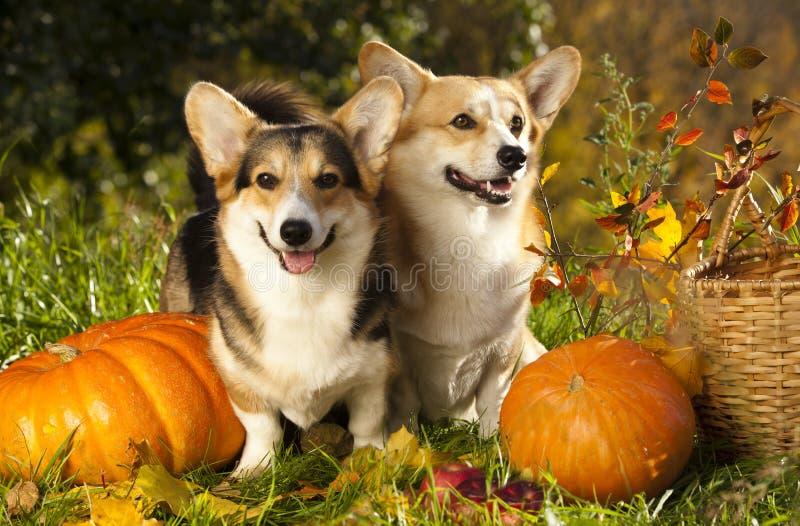 狗和南瓜 免版税库存照片