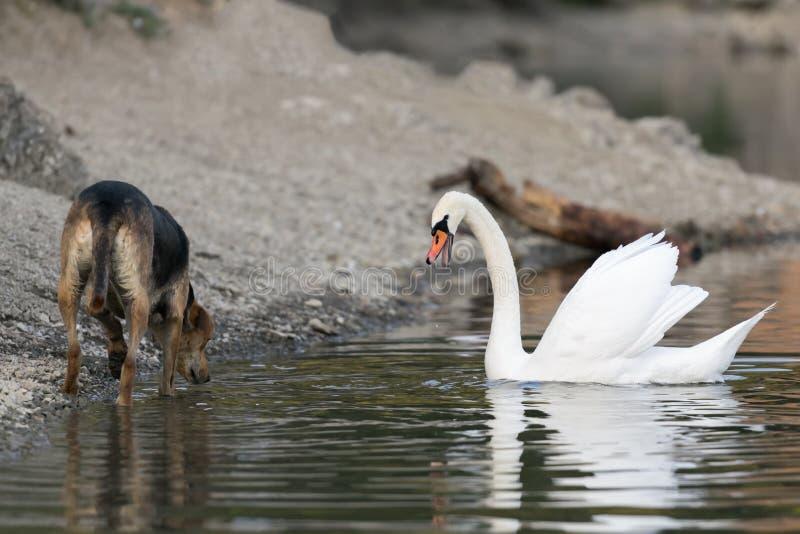 狗和天鹅在湖Beletsi见面在希腊 库存图片