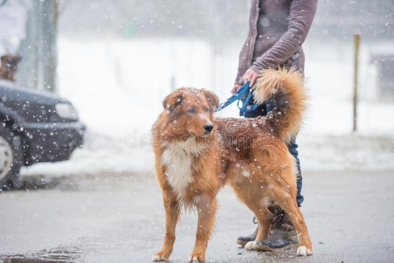 狗和所有者步行在城市在冬天 图库摄影