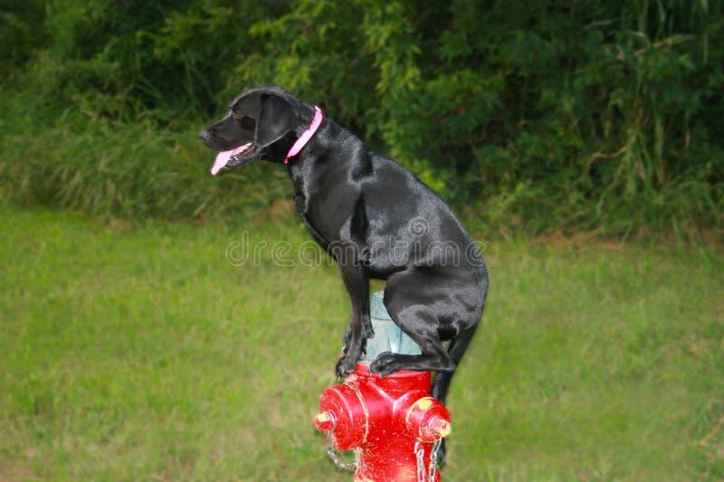 狗和消防龙头 免版税图库摄影
