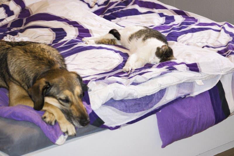 狗和猫在床上一起睡觉 库存照片