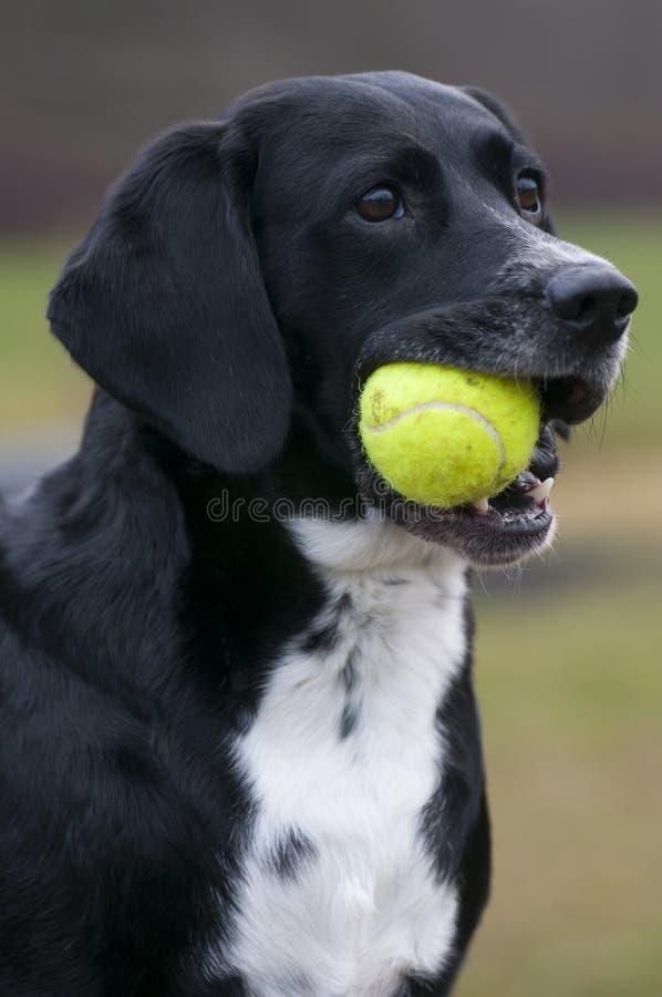 狗和网球 免版税库存照片