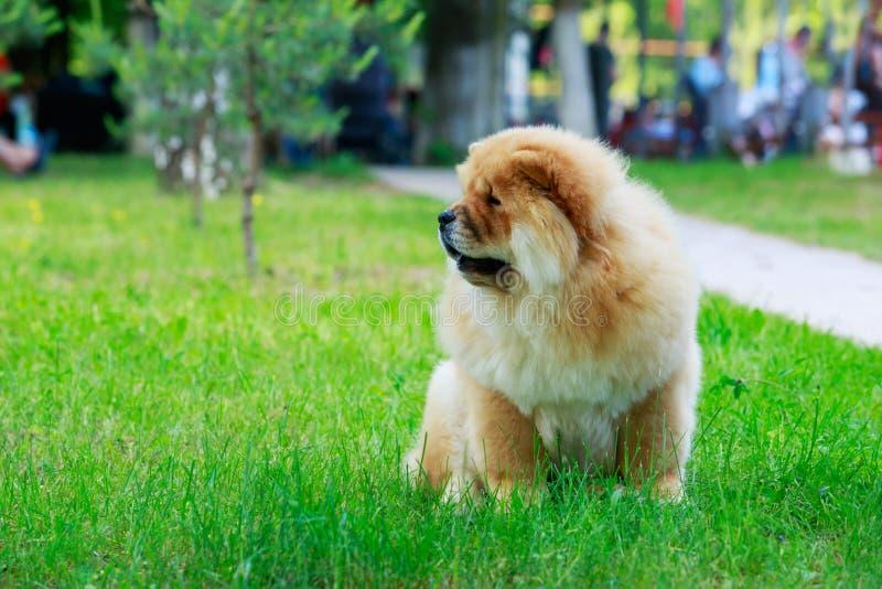 狗品种中国咸菜 库存照片