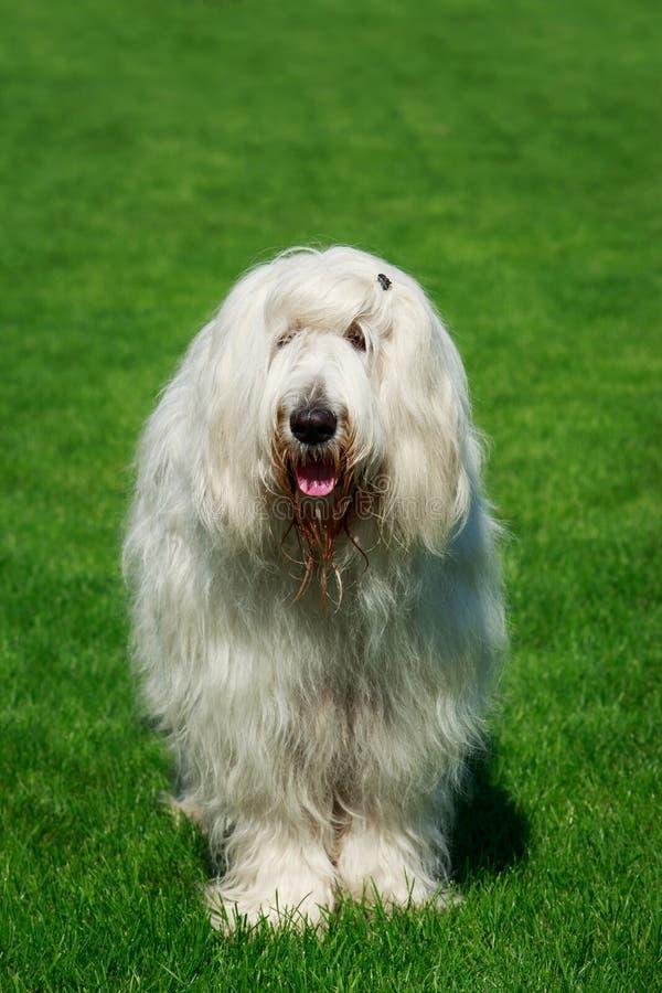 狗品种南俄国护羊狗 库存照片