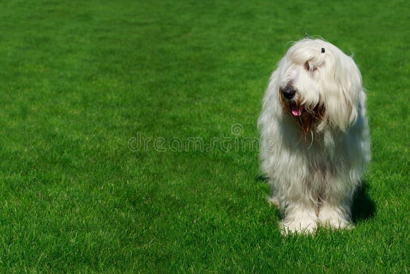 狗品种南俄国护羊狗 免版税库存图片