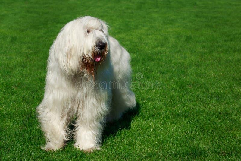 狗品种南俄国护羊狗 免版税图库摄影