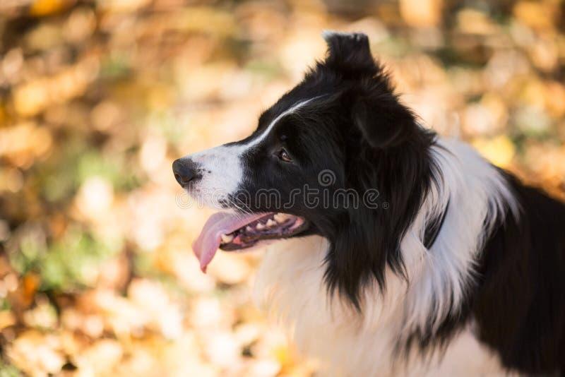 狗品种博德牧羊犬 免版税图库摄影