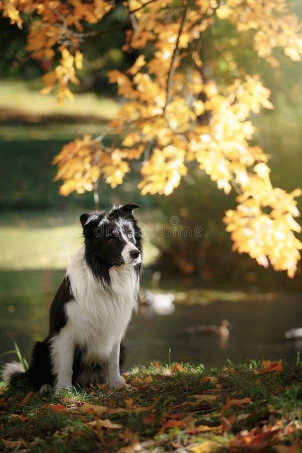 狗品种博德牧羊犬 库存照片