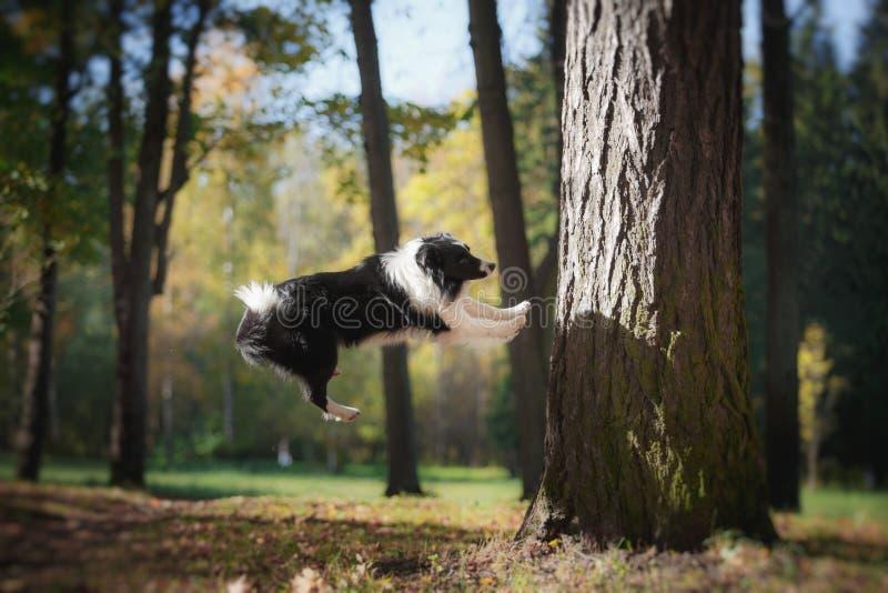 狗品种博德牧羊犬 免版税库存照片