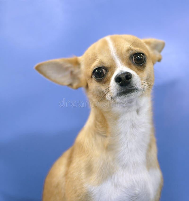 狗品种奇瓦瓦狗小鹿颜色反射 库存照片