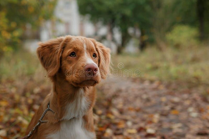 狗品种新斯科舍鸭子敲的猎犬 免版税库存照片