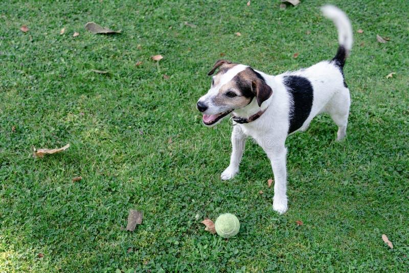 狗品种杰克罗素狗在草坪站立并且守卫球 库存图片
