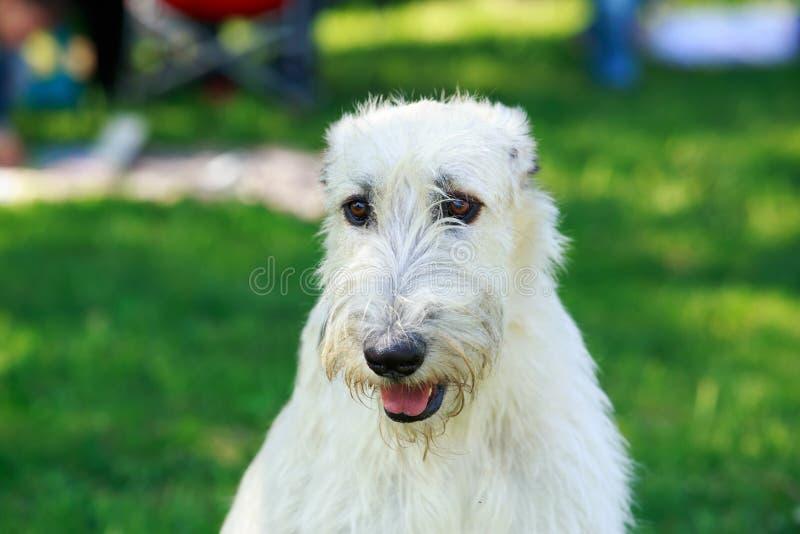狗品种爱尔兰猎犬 库存图片