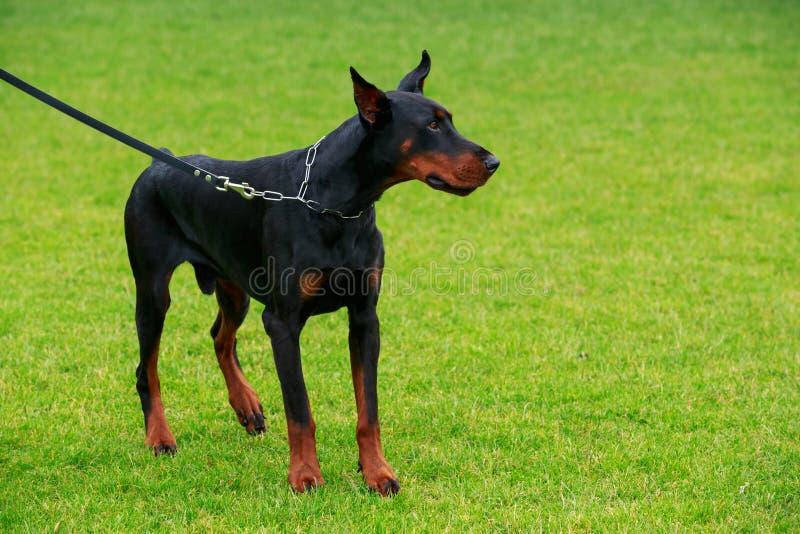 狗品种短毛猎犬短毛猎犬. 哺乳动物, 航空.