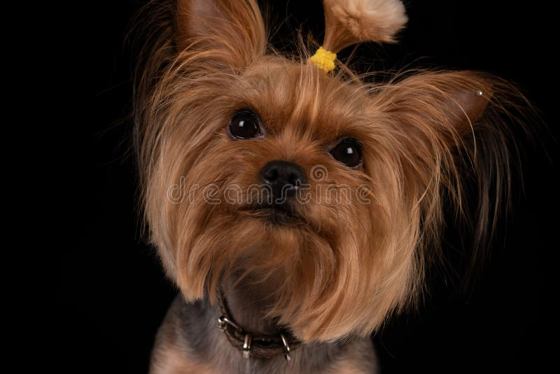 在黑背景的约克夏狗 r 图库摄影