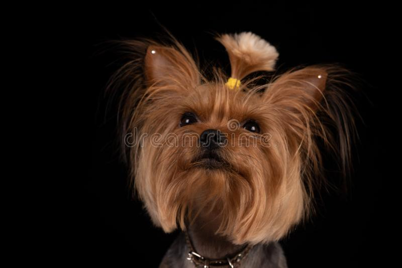 在黑背景的约克夏狗 r 免版税图库摄影