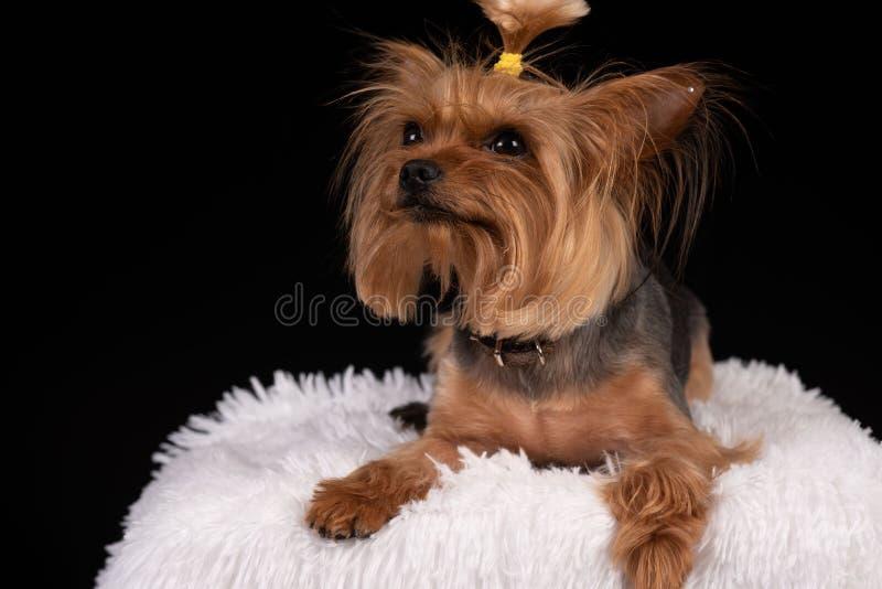 在黑背景的约克夏狗 免版税库存照片