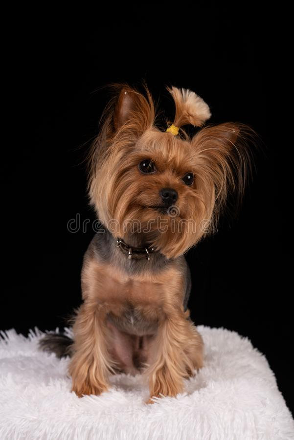 在黑背景的约克夏狗 库存图片