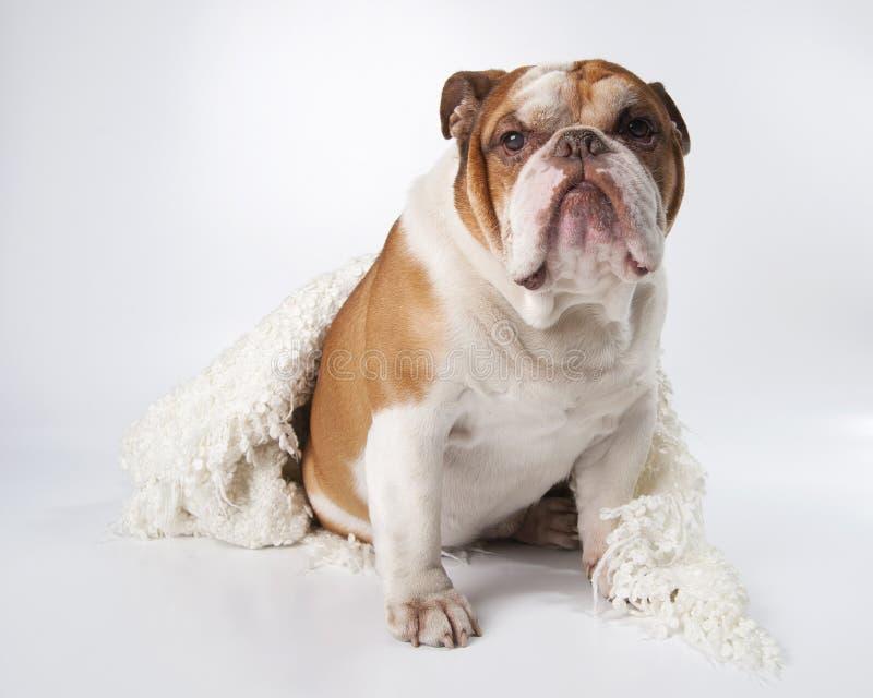 狗品种英国牛头犬的画象 库存图片
