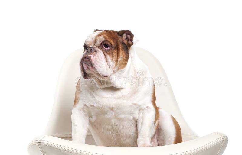 狗品种英国牛头犬 免版税库存照片