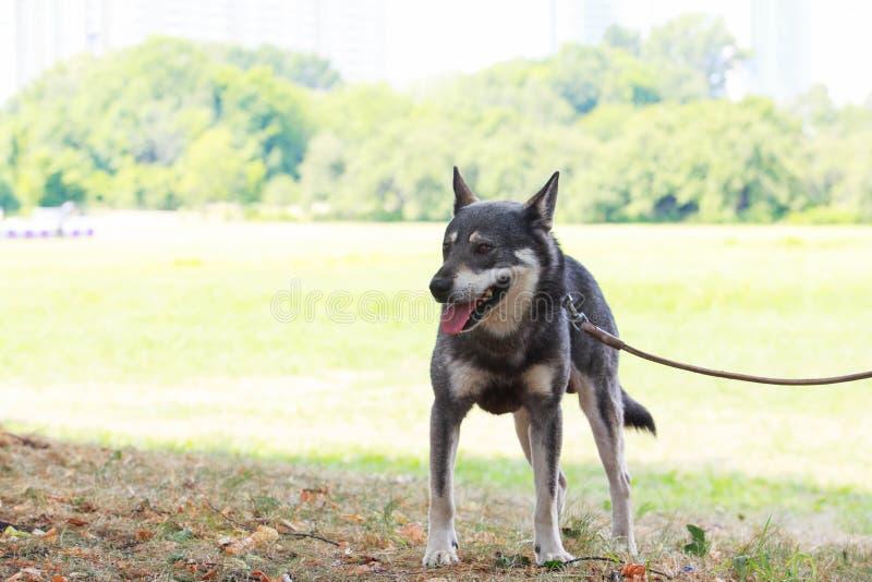 狗品种西西伯利亚Laika 库存图片