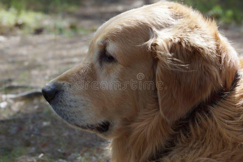 狗品种金毛猎犬在外形,可看见的黑衣领和在背景弄脏了地球 库存照片