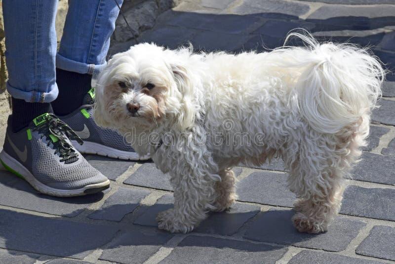 狗品种马尔他在与所有者的步行,供玩赏用的小狗在所有者脚附近的博洛涅塞立场 免版税库存图片