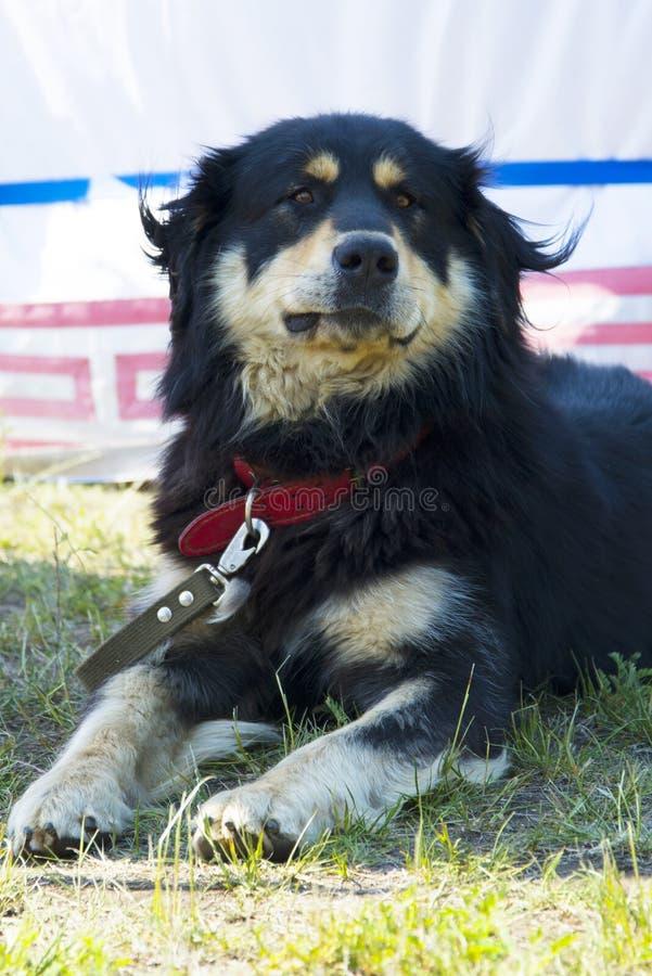 狗品种Hotosho或Buryat蒙古人猎狼犬 免版税图库摄影