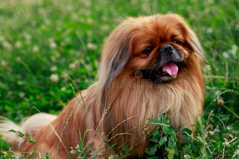 狗品种Pekingese 库存图片