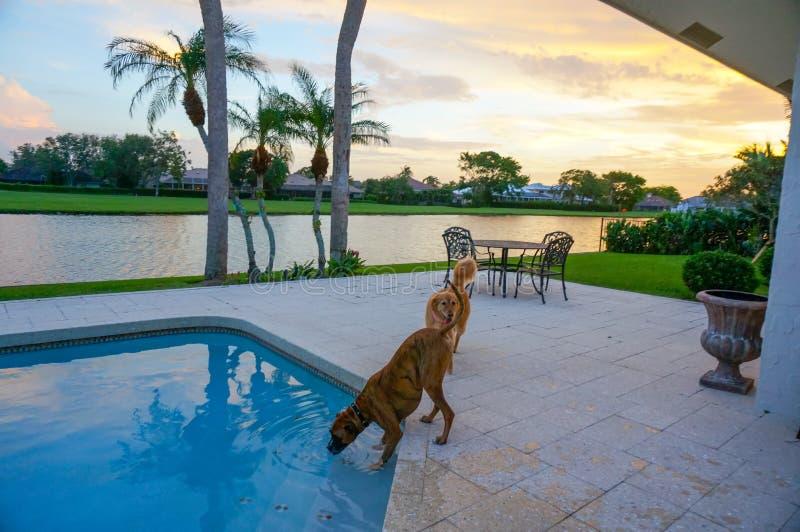 狗喝在游泳池外面在与棕榈树的日落 免版税库存照片