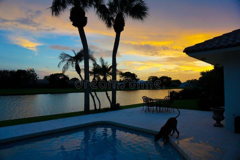 狗喝在游泳池外面在与棕榈树的日落 库存照片
