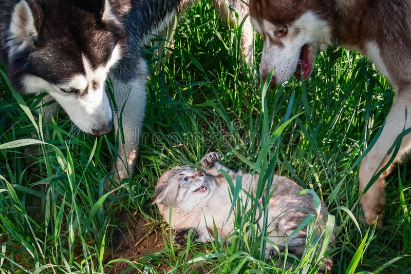 狗围拢了害怕猫 概念仇怨猫和狗 两爱斯基摩攻击了举爪子和发布爪的一只极热的猫 库存图片