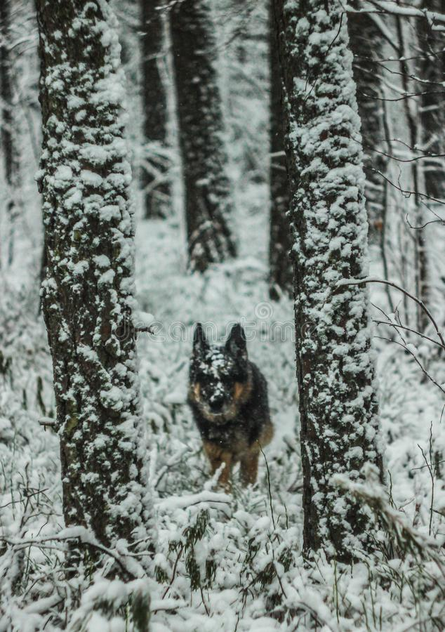 狗在一个多雪的冬天森林里走本质上 库存图片