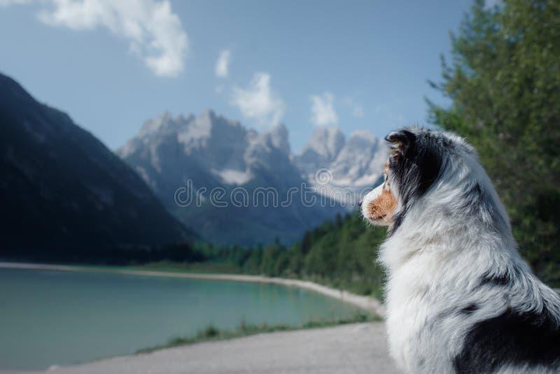 狗在一个蓝色湖的一块石头站立山的 澳大利亚牧羊人本质上 宠物旅行 免版税库存照片