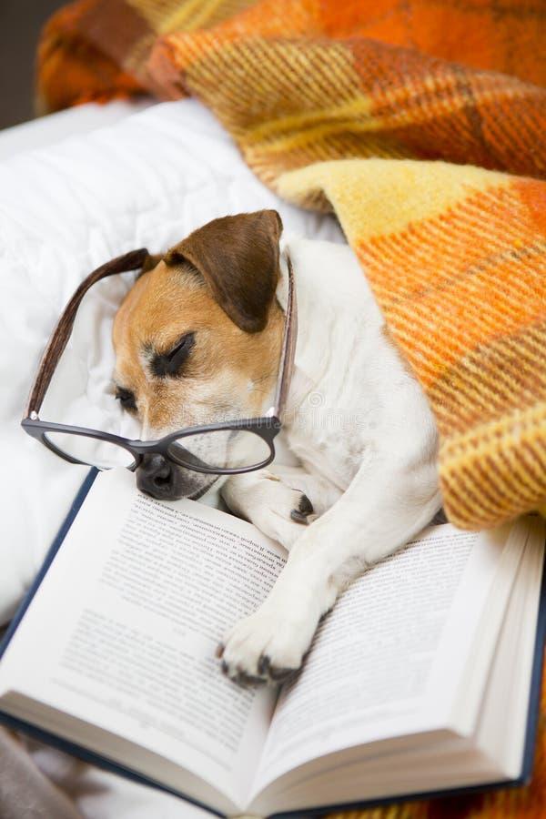 狗在上床时间前的晚上读书 库存照片