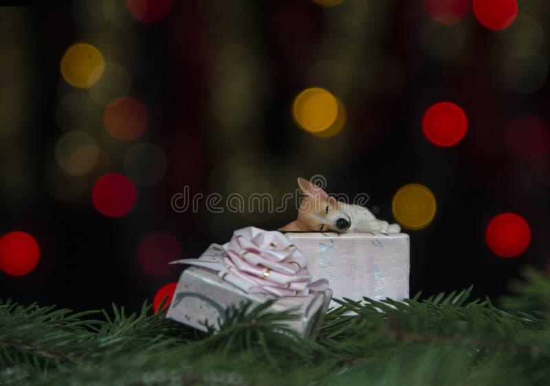 狗在云杉的分支睡觉反对黄色和红色bokeh光背景的一把桃红色礼物弓 库存照片