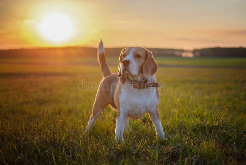 狗在春天步行的画象小猎犬在领域 库存图片