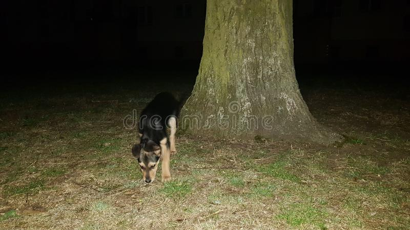 狗在晚上 免版税库存照片
