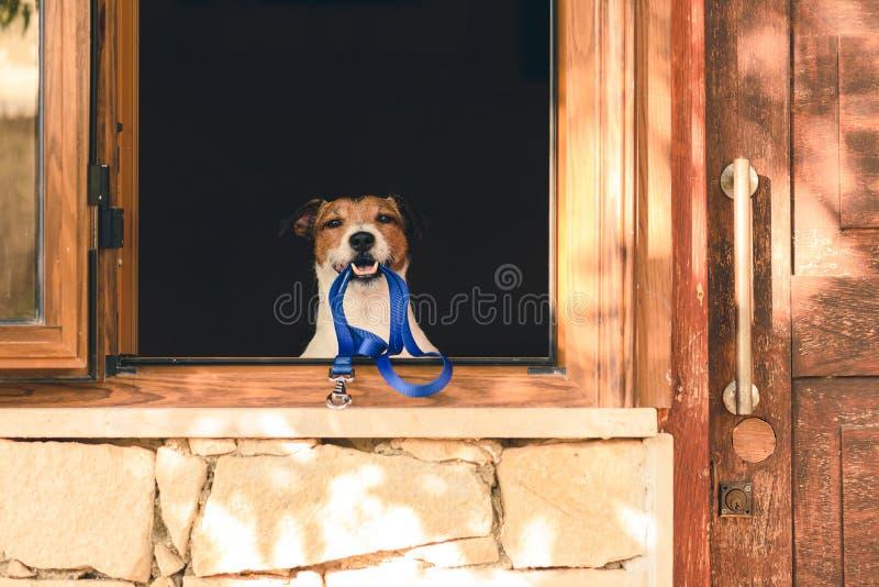 狗在村庄在愿的嘴的藏品皮带窗口里去散步  库存照片