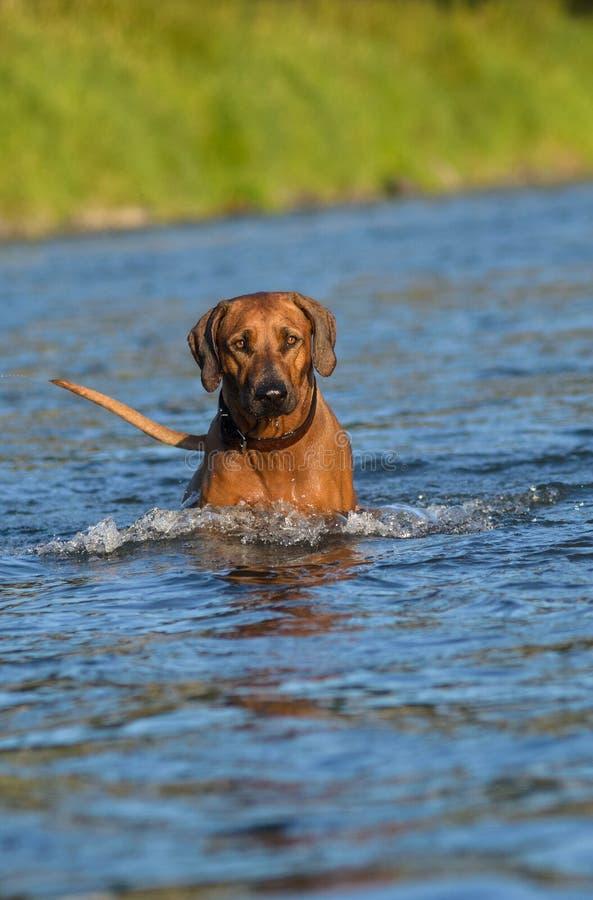 狗在河 免版税图库摄影