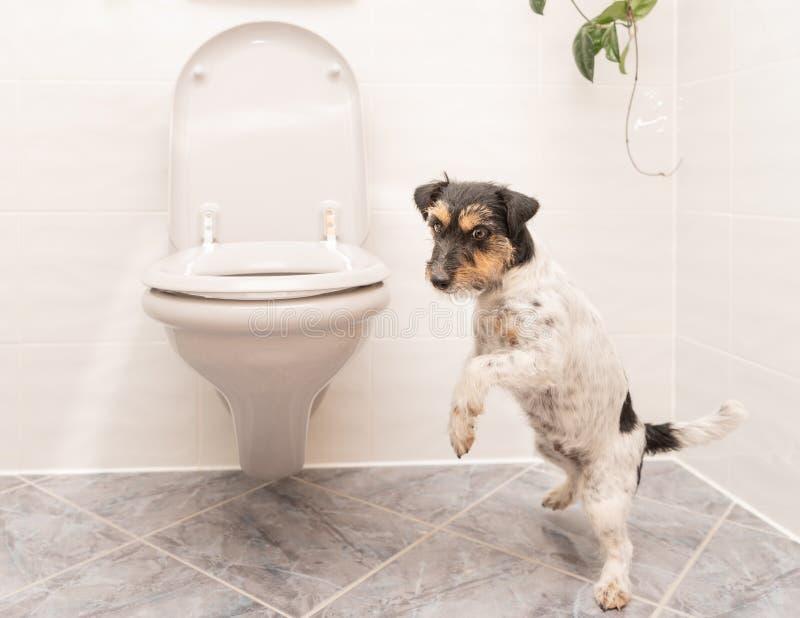 狗在洗手间-杰克罗素狗跳舞 库存照片
