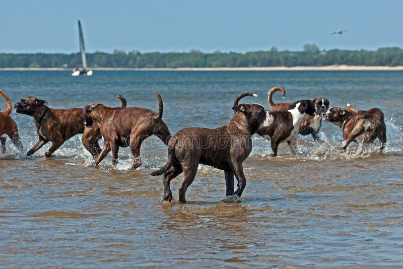 狗在海滩的拳击手和牛头犬戏剧 免版税库存图片