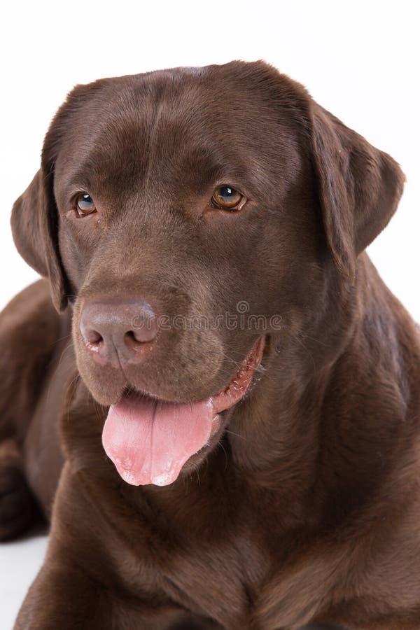 狗在白色背景的拉布拉多褐色 库存照片