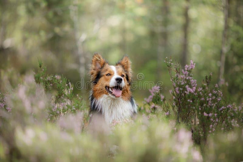 狗在石南花的森林 在自然的逗人喜爱的博德牧羊犬 与您的宠物的步行 库存照片